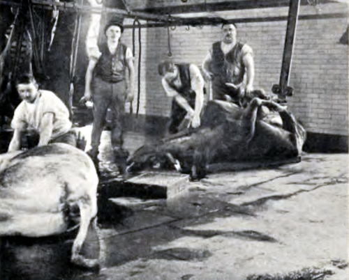 Fire slagtere i gang med at partere en hel ko