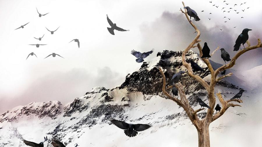 Billede af sorte fugle i sne